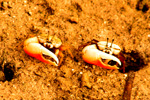 Philippine Fiddler Crab